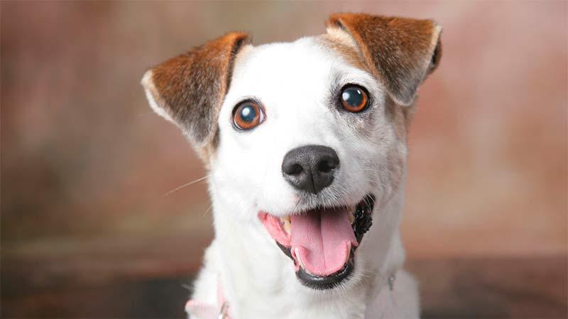Mi perro se rasca la oreja… ¿tendrá otitis? - TOP aul@ Salud