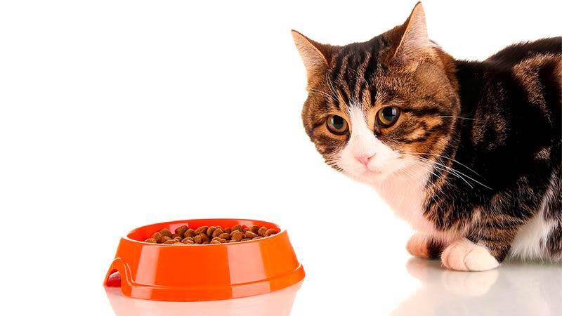 6 consejos para prevenir problemas digestivos de mi gato - TOP aul@ Salud